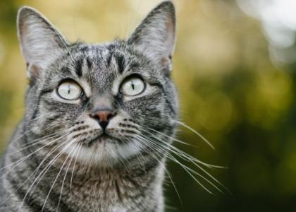 heartworm disease in cats