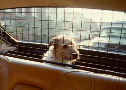 Photo of a dog in the back of a car